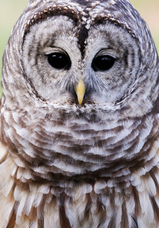 That Face - Barred Owl