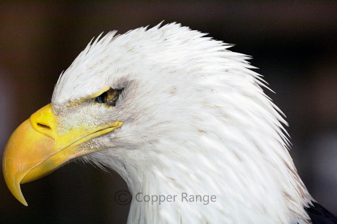 Blind Bald Eagle Profile