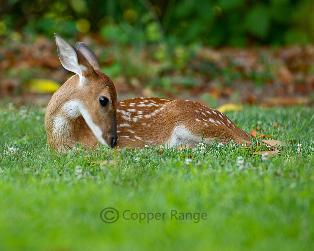 We Love Animals - White tailed deer fawn, 2018