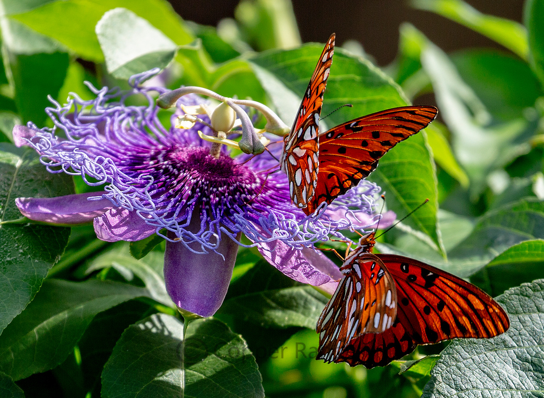 Passion - Gulf Frittilary Butterflies on Passion Flower