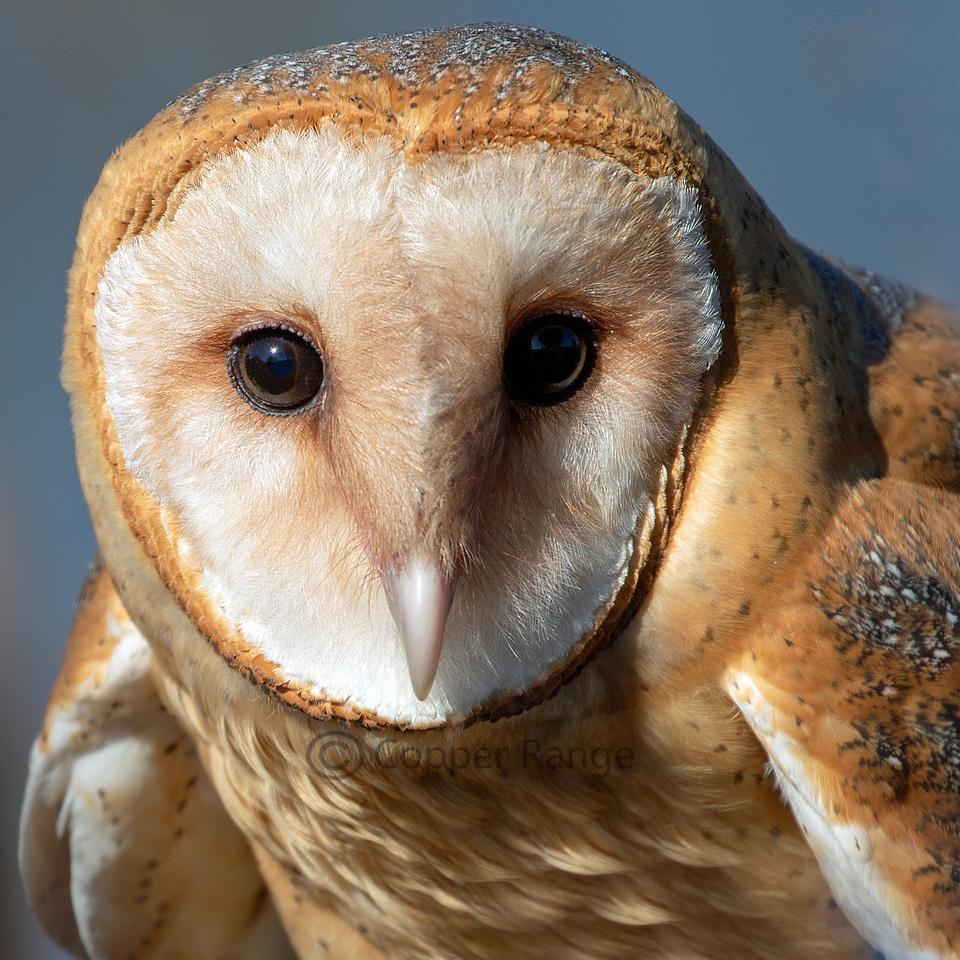 Eye Contact - Barn Owl