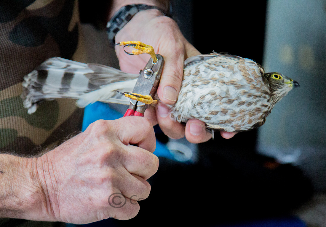 Banding of Juvenile Sharp-Shinned Hawk