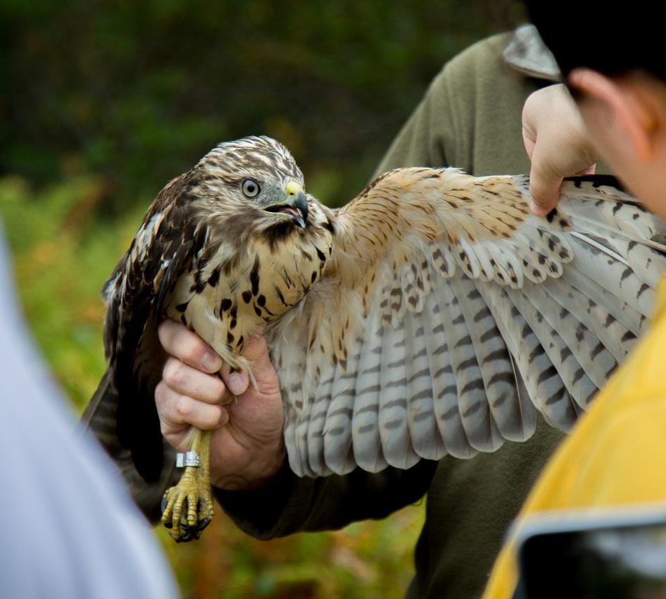 Newly Banded Juvenile Red Shouldered Hawk