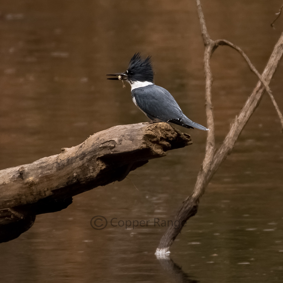 Adult Male Belted Kingfisher with Catch