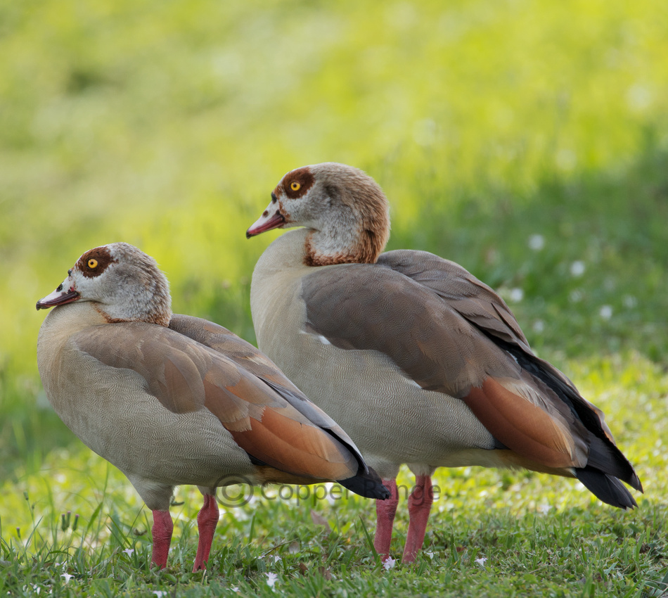 Egyptian Goose Pair