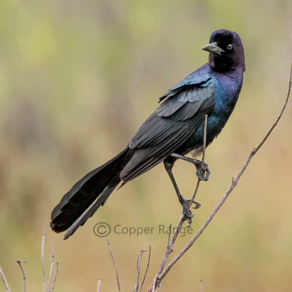 Boat Tailed Grackle - Male