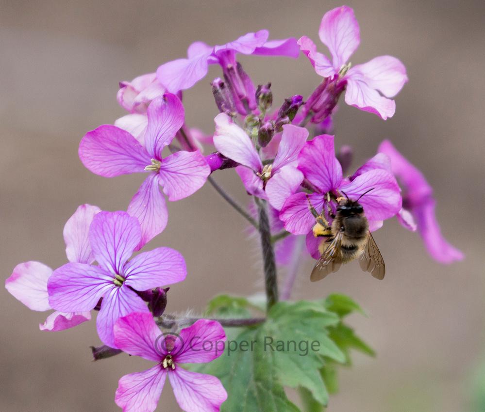 "Honey Bee and Lunaria Flower (""Money Plant"")"