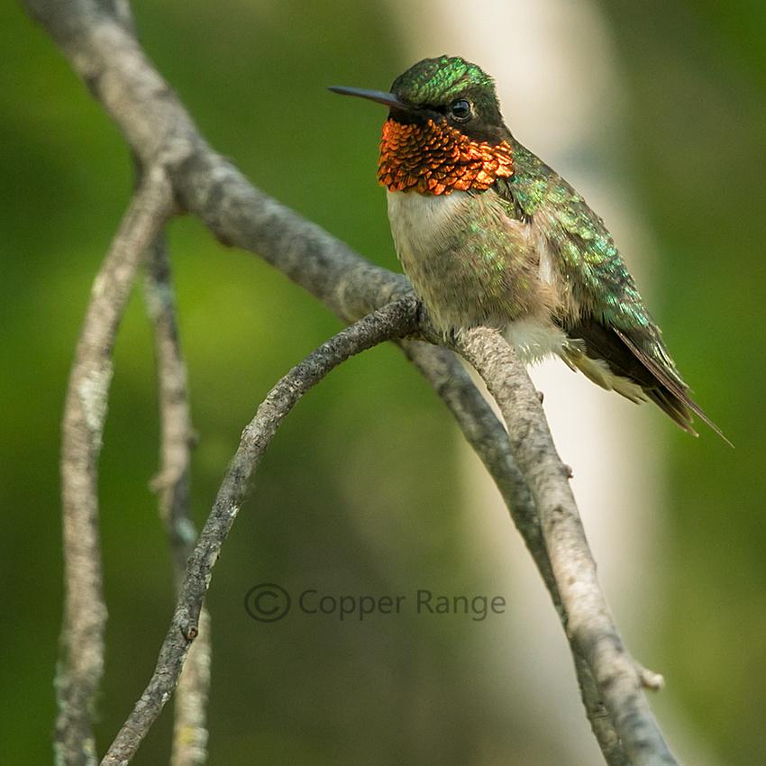 Ruby Throated Hummingbird, female or juvenile