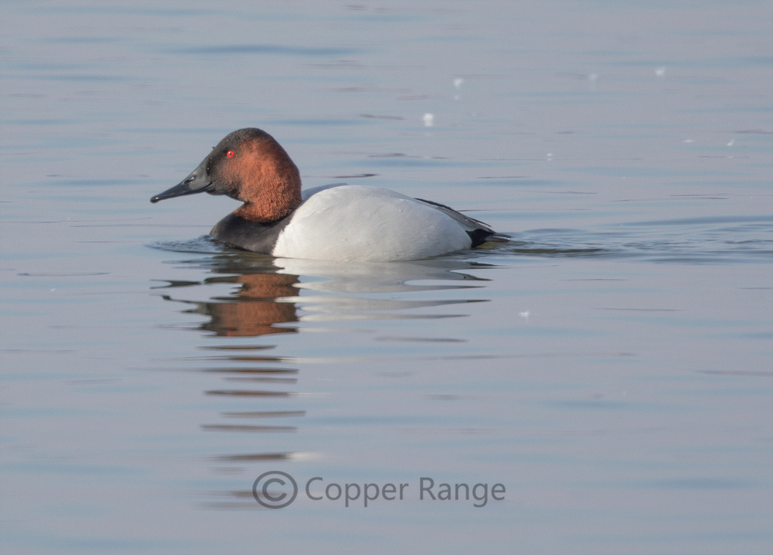 Canvasback - Male
