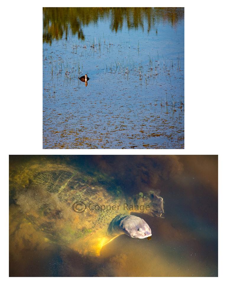 Near and Far - Florida Soft Shell Turtle